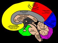 мозолистое тело головного мозга