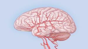 кровеносные сосуды головного мозга