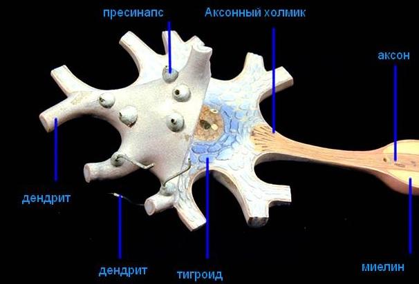Аксоны и дендриты