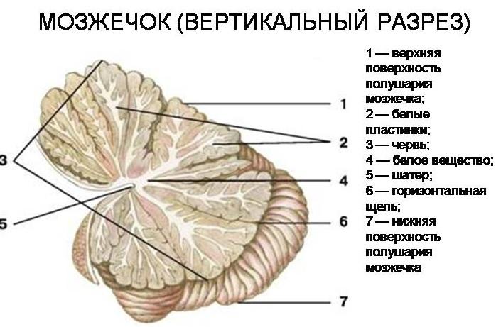Строение и функции мозжечка связаны