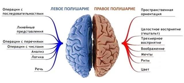 Левое полушарие мозга отвечает