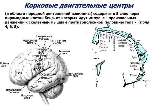 Левое полушарие