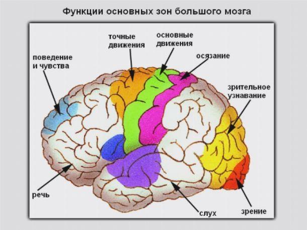 Отделы мозга