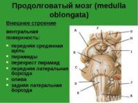 Продолговатый мозг находится
