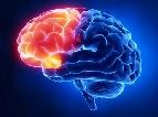 Лобные доли головного мозга