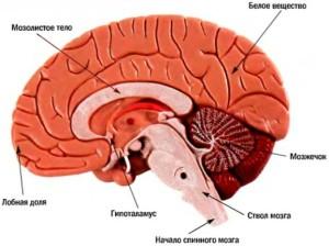 из чего состоит головной мозг