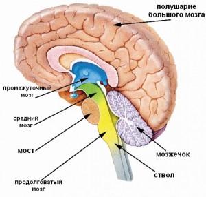 Строение головного мозга: названия отделов