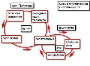 схема лимбической системы мозга