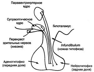 строение гипофиза