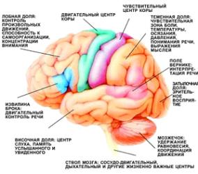 otdely mozga