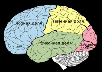 типы коры мозга