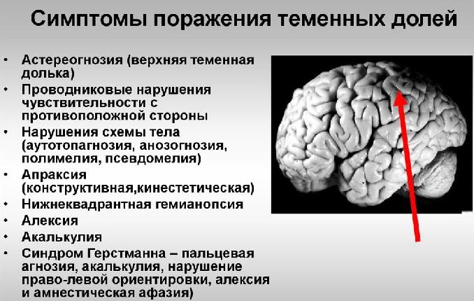 Теменные доли головного мозга